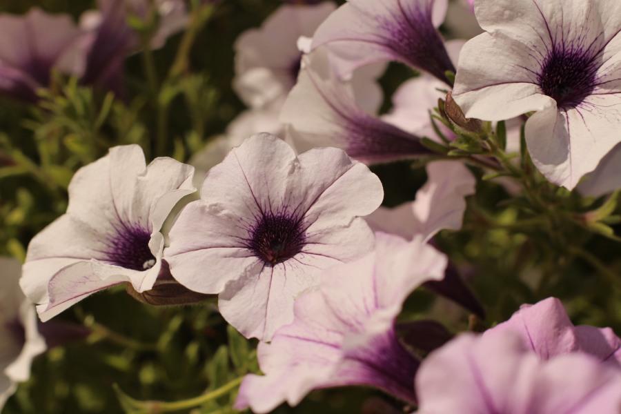 white purple petunia